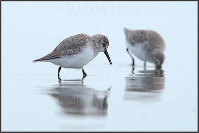 Dunlin - Piovanello Pancianera ( Calidris alpina )   Giuseppe Varano - Nature and Wildlife Images - Birds and Nature Photography