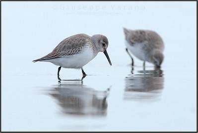 Dunlin - Piovanello Pancianera ( Calidris alpina )   Giuseppe Varano - Nature and Wildlife Images - Birds and Nature Photography