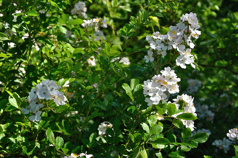 Wild blackberry bushes in bloom.  Nikon D5000 (June 2010).
