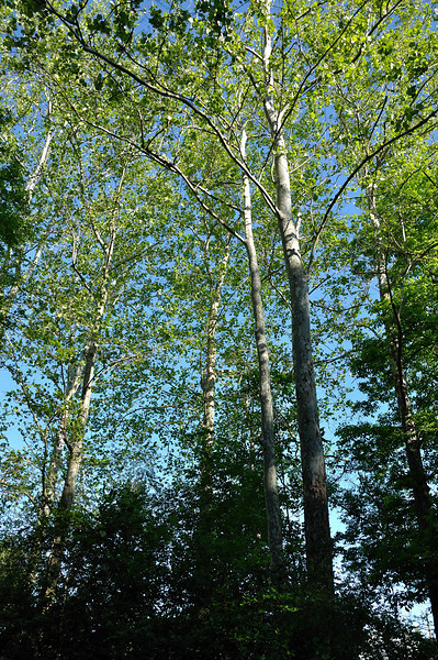 Sycamore trees along Keshequa Creek, Nunda.  Nikon D5000 (May 2010).