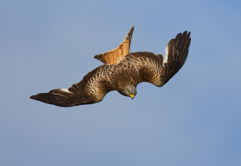 Red Kite. John Chapman.