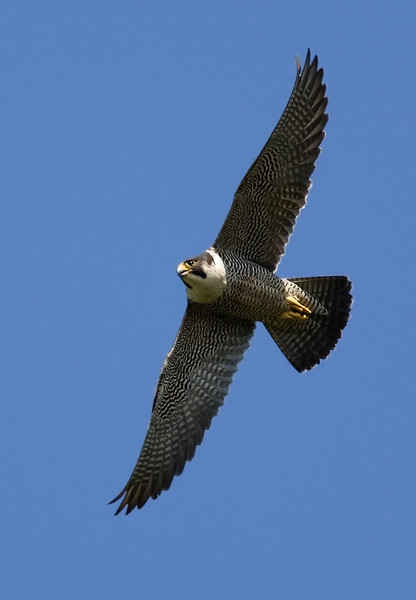Peregrine Falcon is breeding on Skomer.