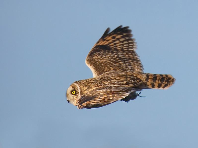 I saw Short Ear Owl on Skomer.