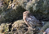 Little Owl. John Chapman.