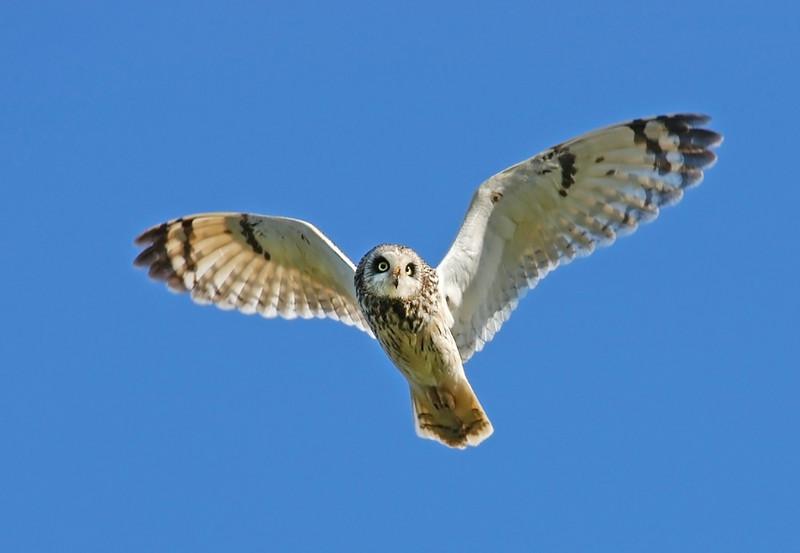 I saw a Short Ear Owl on Skomer.