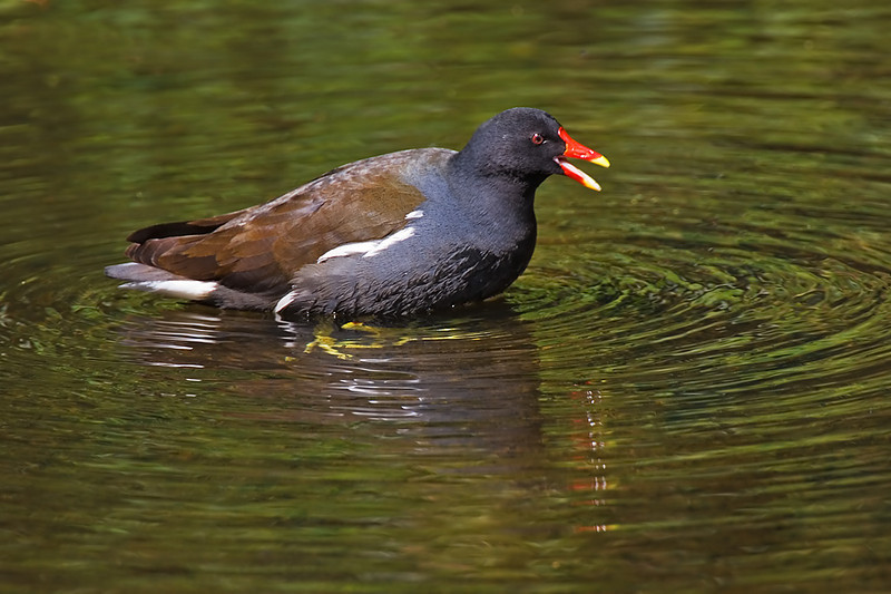 I saw a Moorhen and chick on Skomer.