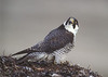 I saw Peregrine falcon with flying young on Skomer.