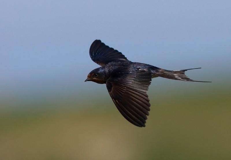 Swallow. John Chapman.