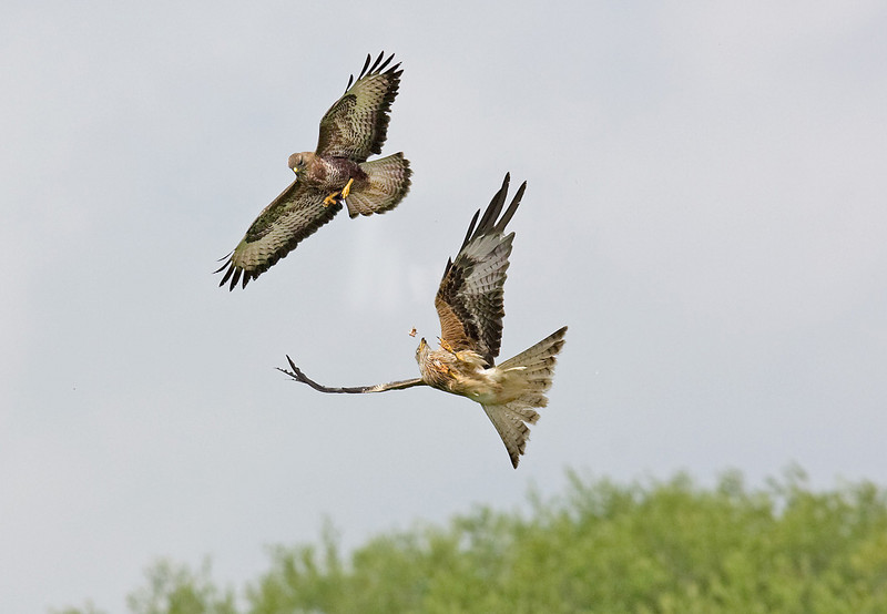 Buzzard over Red Kite with food.