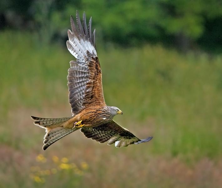 Red Kite, Wales.  John Chapman.