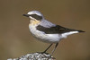 I saw Wheatear on Skomer.