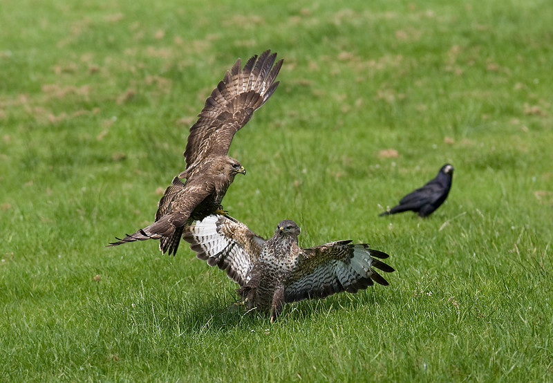 Buzzards Fighting.