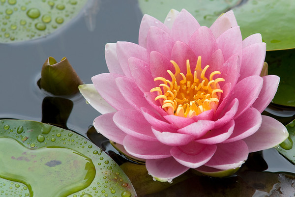 perfectwaterlily