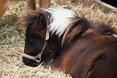 Falabella Miniature Horse Foal (Equita 2010)