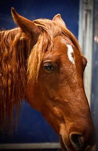 Chestnut horse (Equita 2010)