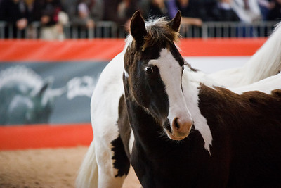 Pinto / Paint Horse Foal (Equita 2010)