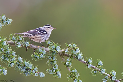 Black-and-white Warbler, Mniotilta varia