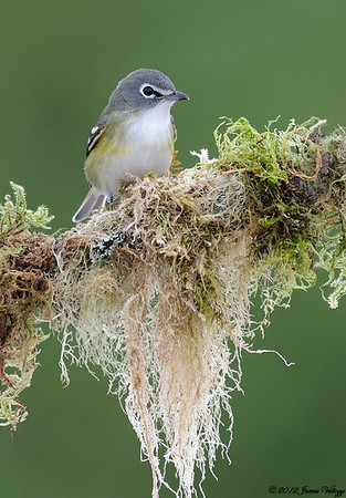 Blue-headed Vireo, Vireo solitarius