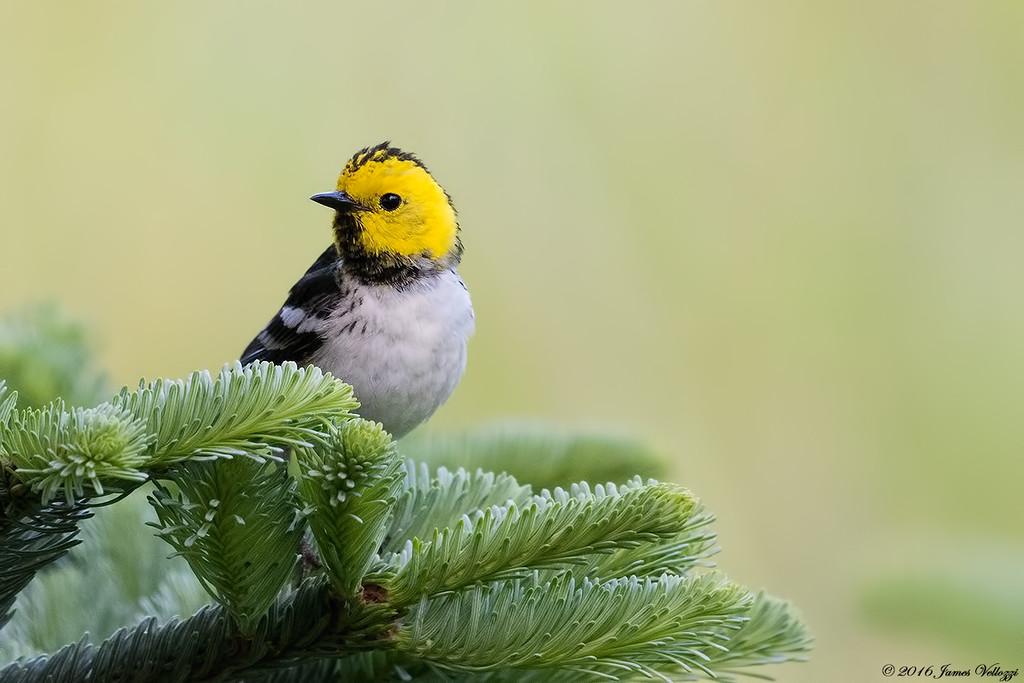 Hermit Warbler, Setophaga occidentalis