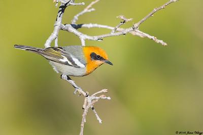 Olive Warbler, Peucedramus taeniatus