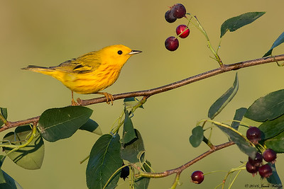 Yellow Warbler, Setophaga petechia