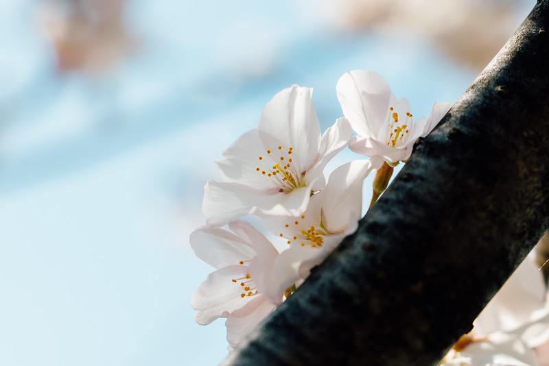 Blossoms Enhanced