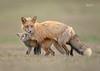 Red Fox-36809