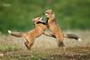 Red Fox--25