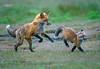 Red Fox--21