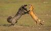 Red Fox--18