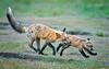 Red Fox--23