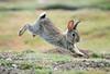 Rabbit--2