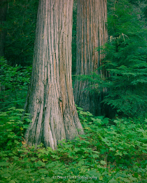 S.5189 - Western redcedar, Roosevelt Grove of Ancient Cedars, Kaniksu National Forest, WA.