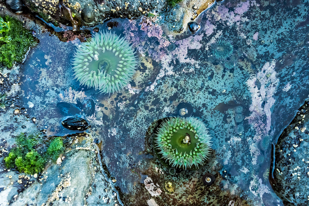 Tide Pool Sea Anemone