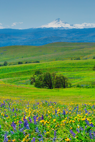 DF.4251 - Flowering fields of lupine and arrowleaf balsamroot with Mt. Hood in the distance, Columbia Hills State Park, WA.