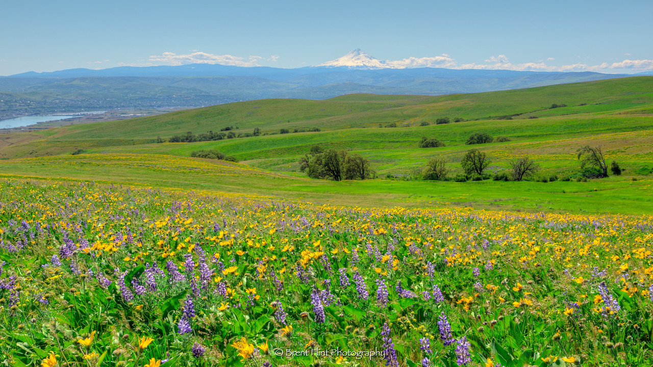 DF.4250 - Flowering fields of lupine and arrowleaf balsamroot with Mt. Hood in the distance, Columbia Hills State Park, WA.