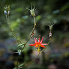 Olympic Wildflower