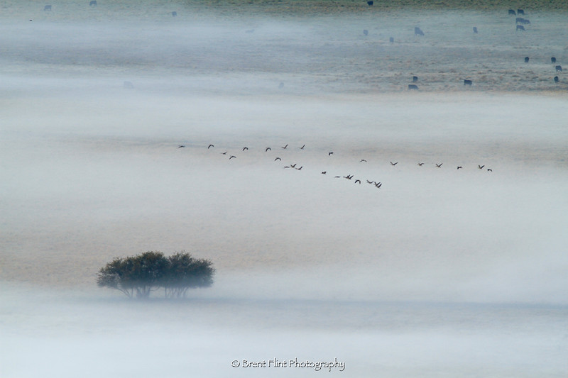 DF.3329 - Canada geese flying over foggy field, Saltice Uplands Conservation Area, WA.