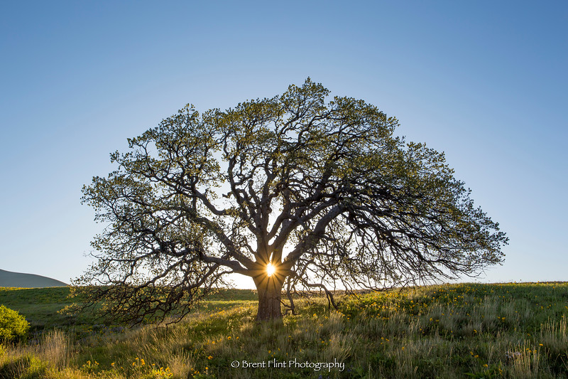 DF.4538 - Oregon white oak at sunrise, Dalles Mountain Ranch, Columbia Hills State Park, WA.