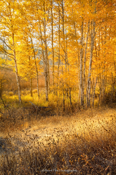 DF.4916 - Aspen grove in fall, Turnbull National Wildlife Refuge, WA.
