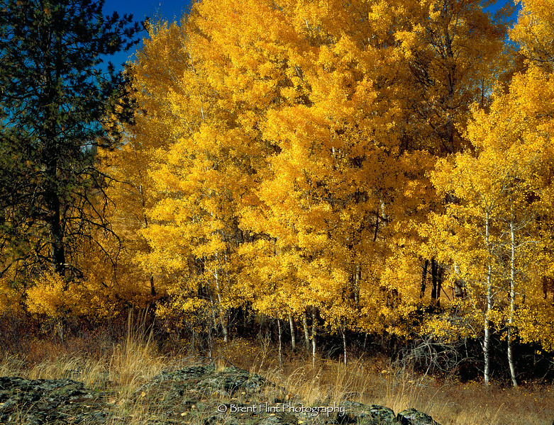 S.4222 - Aspens and Ponderosa Pine, Turnbull National Wildlife Refuge, WA.