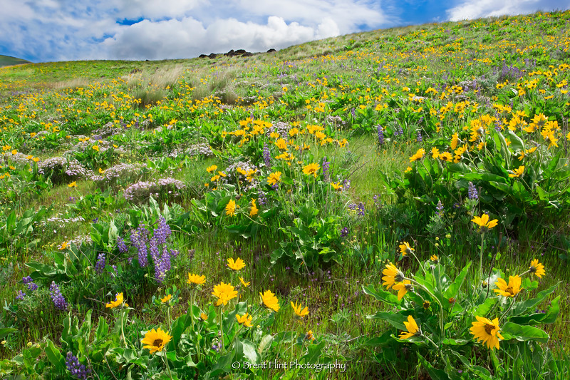 DF.4548 - hillside of arrowleaf balsamroot, lupine, and phlox, Columbia Hills State Park, WA.