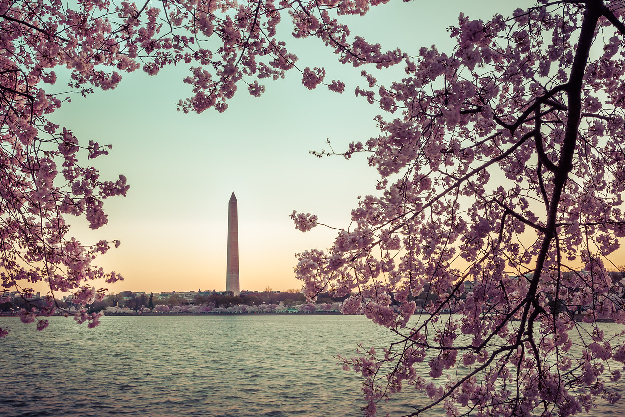 Washington Monument with Blossoms
