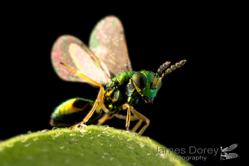 Tiny Eulophidae wasp sp. 1