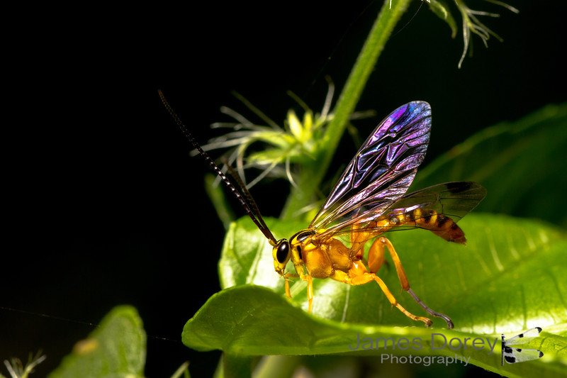 Yellow-banded Ichneumon Wasp (Echthromorpha agrestoria) - Male
