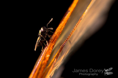 Encyrtidae sp. on flower wasp wings