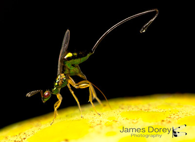 Fig wasp parasitoid, Sycoscapter sp. 1