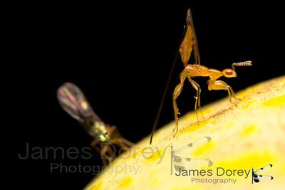 Fig wasp parasitoid and hyperparasitoid Sycoscapter sp. 1 and Watshamiella sp. 1