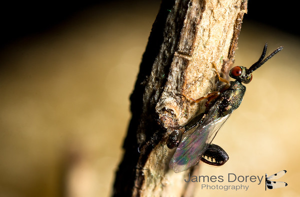 Mantid Oothecae Parasite Wasp - male overlooking ootheca