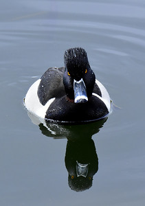 Ring-neck Duck